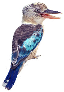blue_winged_kookaburra_600_01