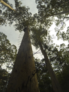 Bicentennial Tree, Warren NP